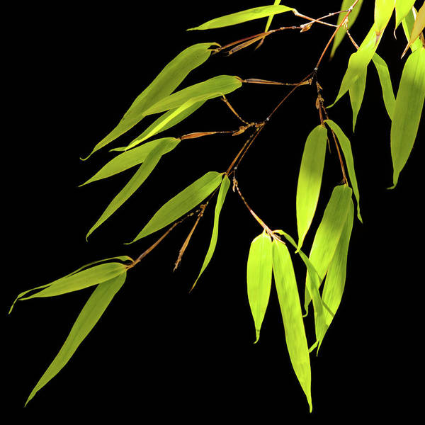 Photograph - Bamboo Leaves 0580a by Mark Shoolery