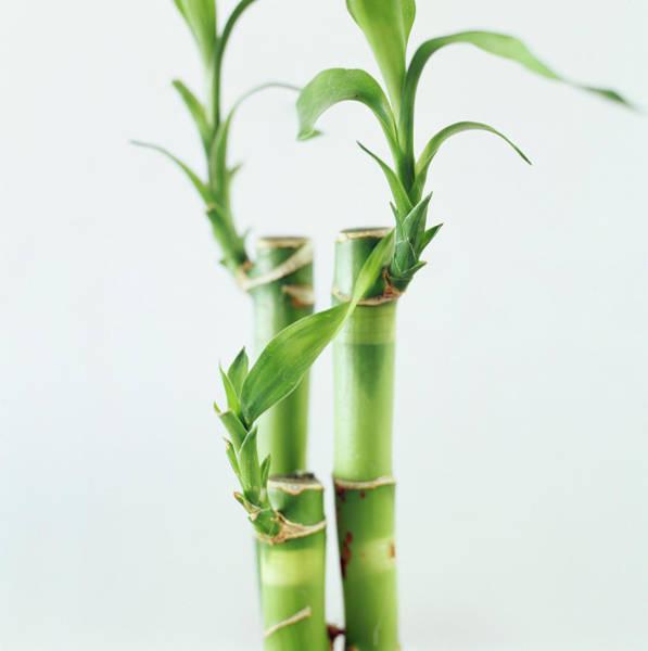 Bamboo Shoots Photograph - Bamboo Plant by Jeanene Scott