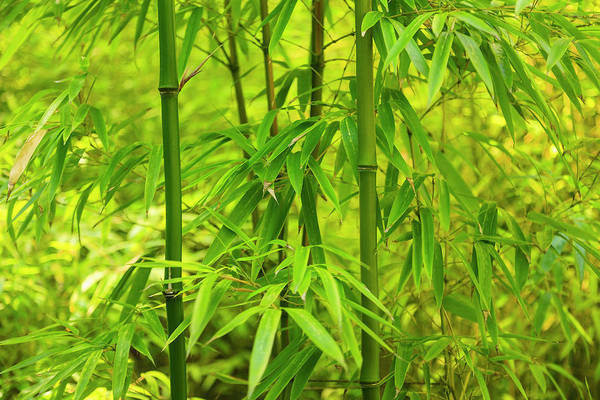Wall Art - Photograph - Bamboo Plants Growing In British by Stuart Westmorland