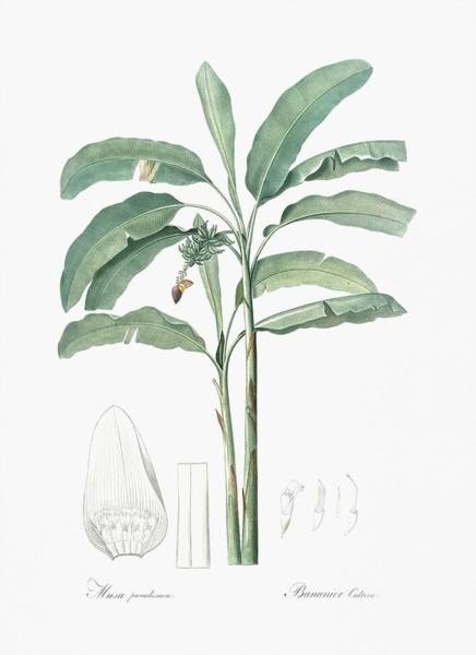 Wall Art - Painting - Banana Illustration From Les Liliacees  1805  By Pierre Joseph Redoute  1759-1840  by Celestial Images