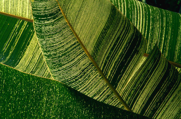 Big Island Photograph - Banana Palm Frond Detail, United States by Nicholas  Pavloff