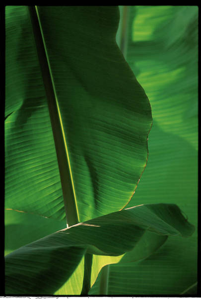 Wall Art - Photograph - Banana Tree Leaves In Indonesia - by Veronique Durruty
