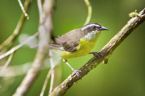 Photograph - Bananaquit San Jorge Ibague Colombia by Adam Rainoff