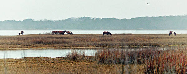 Photograph - Band Of Wild Horses At Sinepuxent Bay by Bill Swartwout Photography