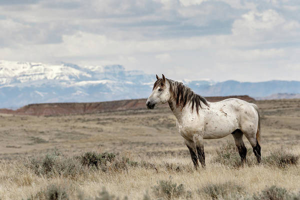 Photograph - Band Stallion by Ronnie and Frances Howard