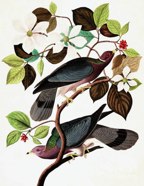 Wall Art - Painting - Band Tailed Pigeon, Columba Fasciata By Audubon by John James Audubon