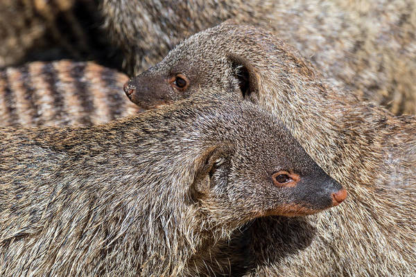 Photograph - Banded Mongoose Colony by Arterra Picture Library