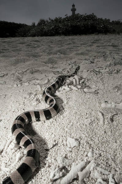 Snake Photograph - Banded Sea Krait Laticauda Colubrina by Tobias Bernhard