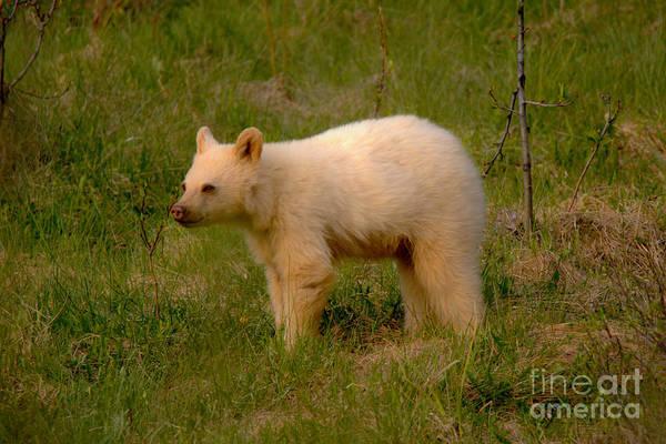 Photograph - Banff White Black Bear Cub by Adam Jewell