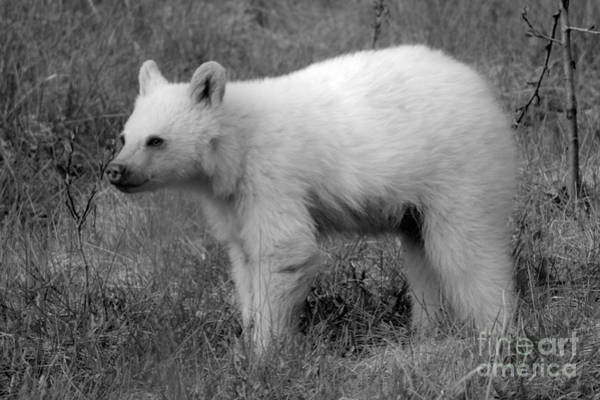 Photograph - Banff White Black Bear Cub Black And White by Adam Jewell