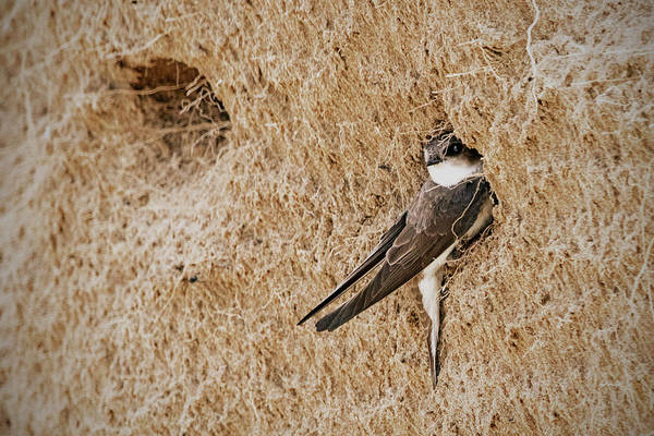 Wall Art - Photograph - Bank Swallow by Ira Marcus