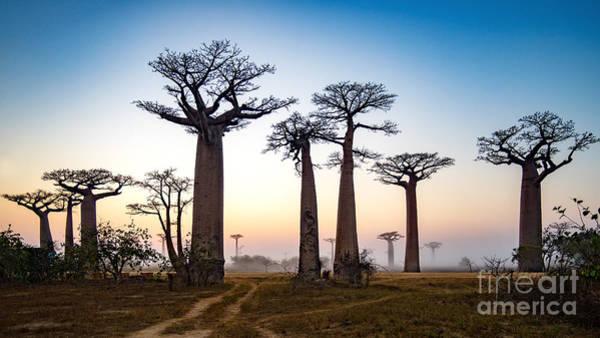 Wall Art - Photograph - Baobab Alley At Dawn - Madagascar by Alex Ship