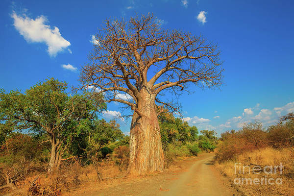Photograph - Baobab In South Africa by Benny Marty