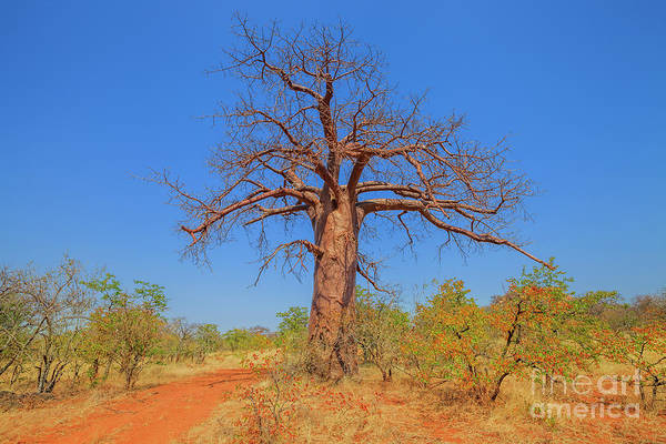Photograph - Baobab Musina Nature Reserve by Benny Marty