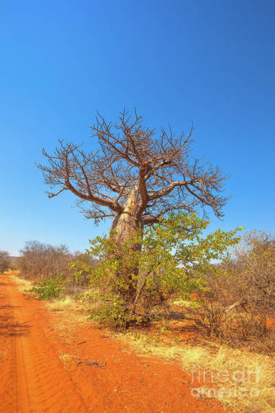 Photograph - Baobab Tree In Limpopo by Benny Marty