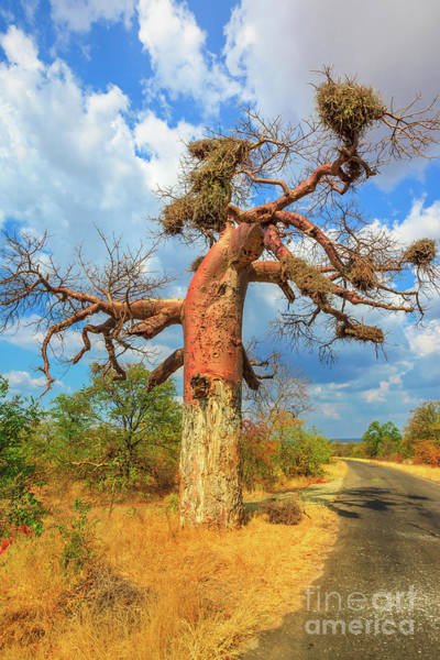 Photograph - Baobab Tree Limpopo by Benny Marty