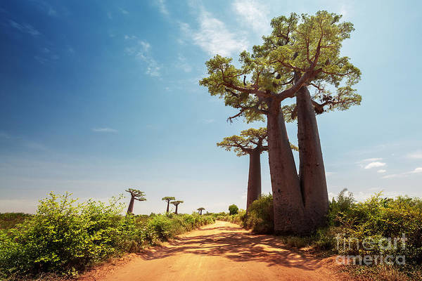 Wall Art - Photograph - Baobab Trees Along The Unpaved Red Road by Dudarev Mikhail