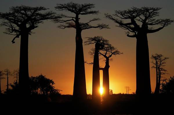 Madagascar Photograph - Baobabs At Sundown by Trevor Cole Alternative Visions Photography