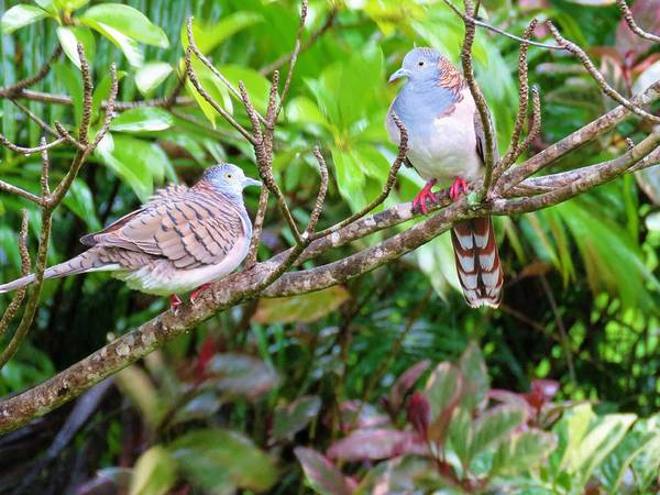 Photograph - Bar-shouldered Dove Pair by Joan Stratton