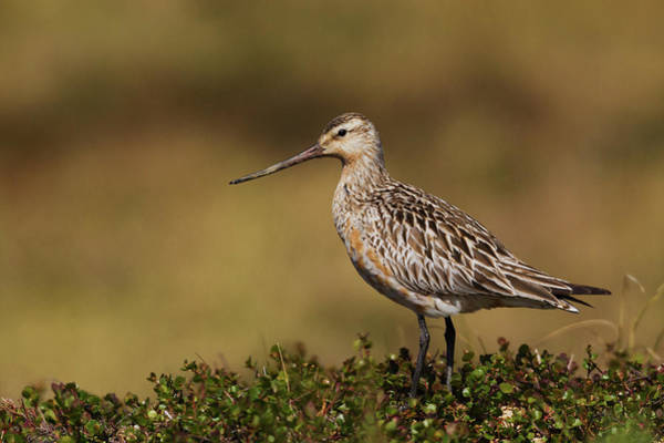 Wall Art - Photograph - Bar-tailed Godwit, Arctic Tundra by Ken Archer