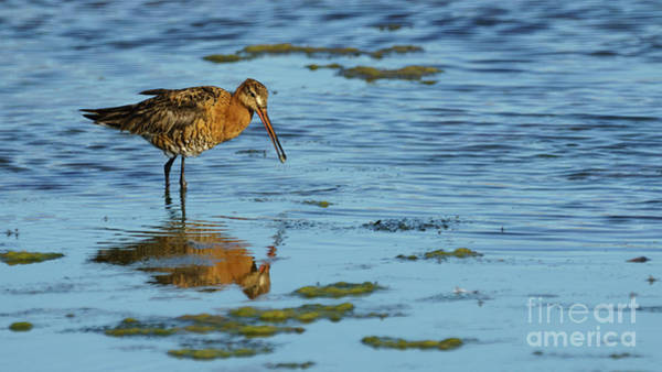 Photograph - Bar-tailed Godwit Limosa Lapponica by Pablo Avanzini