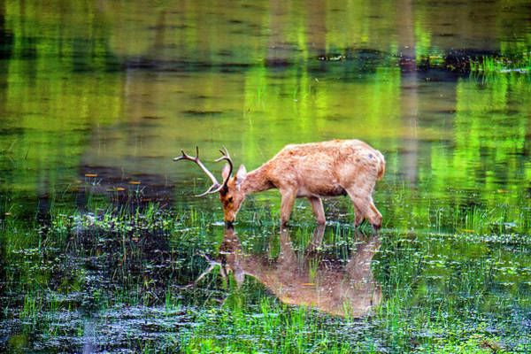 Wall Art - Photograph - Barasingha Swamp Deer Reflecting by Panoramic Images