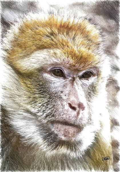 Drawing - Barbary Ape - Dwp3742926 by Dean Wittle