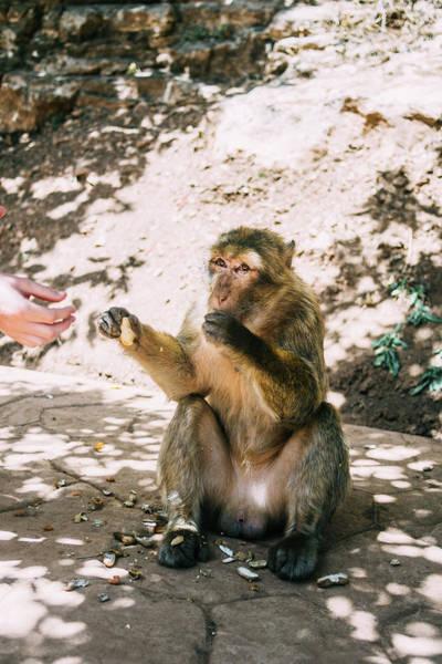Wall Art - Photograph - Barbary Macaque Eating Peanuts by Pati Photography