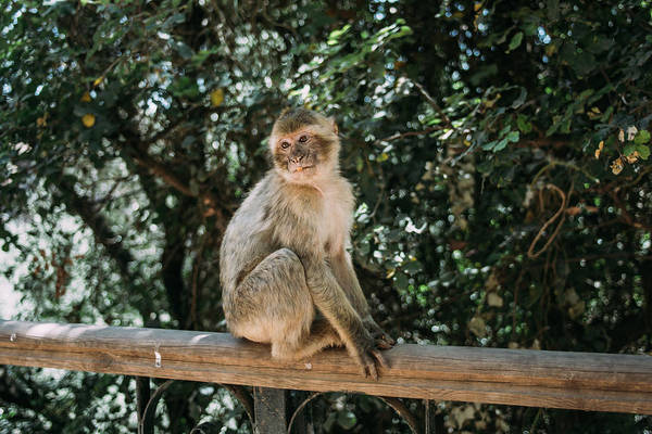 Wall Art - Photograph - Barbary Macaque Sitting by Pati Photography