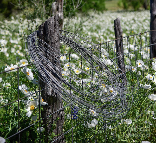 Photograph - Barbed Wire And Poppies by Paul Quinn