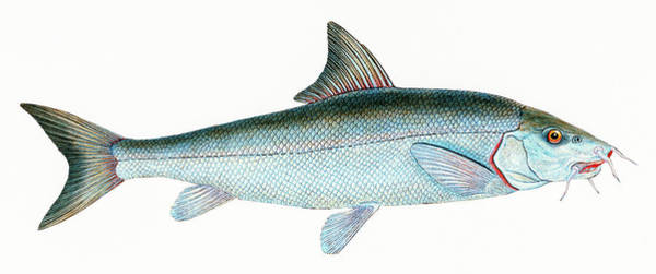 Drawing - Barbel  by David Letts