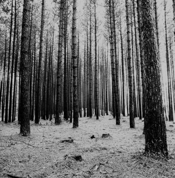 Wall Art - Photograph - Bare Trees by Robert Natkin