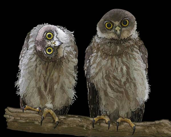 Drawing - Barking Owls 1 by Joan Stratton
