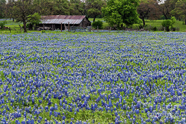 Photograph - Barn And Bluebonnets by Patti Schulze