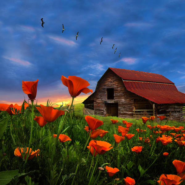 Photograph - Barn In Poppies In Square by Debra and Dave Vanderlaan