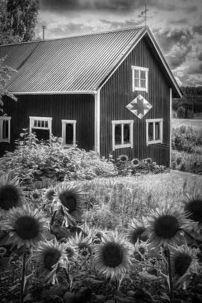 Photograph - Barn In Summer Sunflowers Black And White by Debra and Dave Vanderlaan