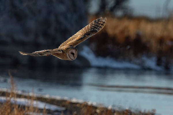 Photograph - Barn Owl 1 by Rick Mosher