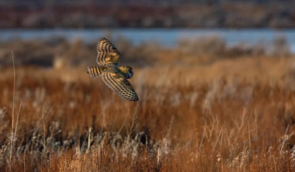 Photograph - Barn Owl 2 by Rick Mosher