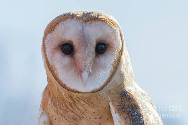 Photograph - Barn Owl 5 by Chris Scroggins