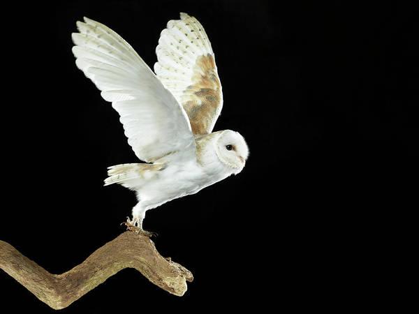 Taking Off Photograph - Barn Owl Flying Away by Michael Blann