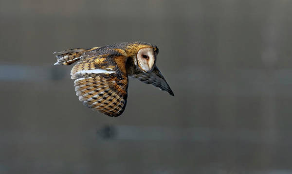 Photograph - Barn Owl In Flight 2 by Rick Mosher