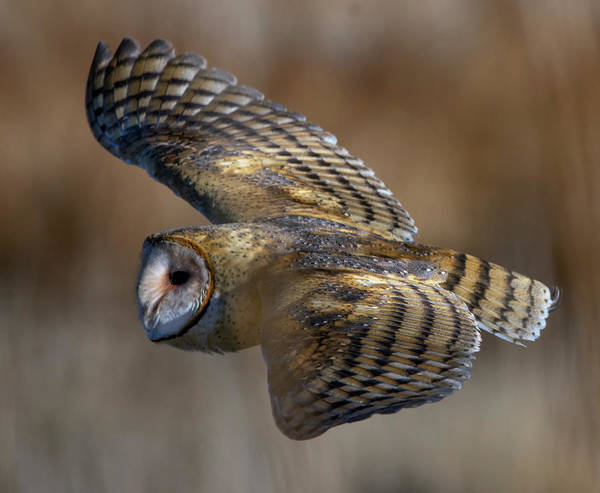 Photograph - Barn Owl In Flight by Rick Mosher