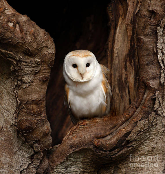 Wall Art - Photograph - Barn Owl by Jack53