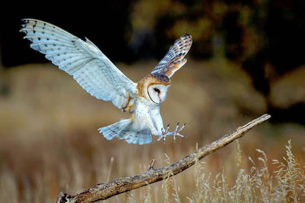 Photograph - Barn Owl Landing by Judi Dressler