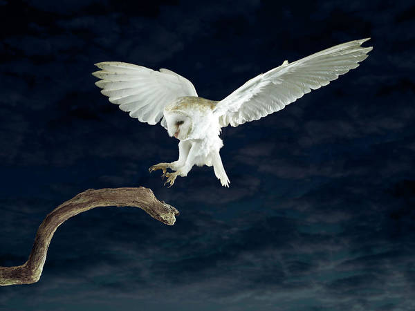 Body Parts Photograph - Barn Owl Landing On To A Branch by Michael Blann