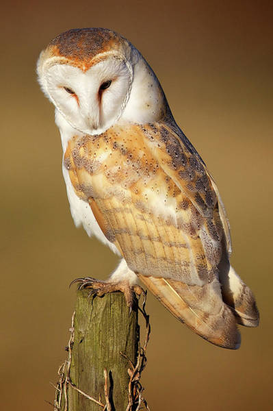 Shoulder Photograph - Barn Owl by Markbridger