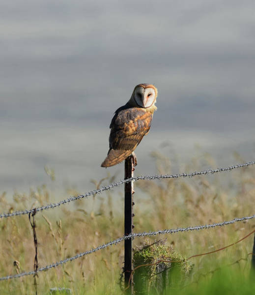 Photograph - Barn Owl by Pamela Walton