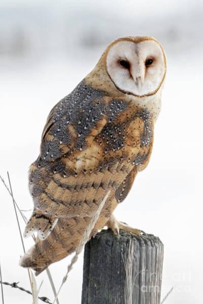 Wall Art - Photograph - Barn Owl Portrait by Mike Dawson