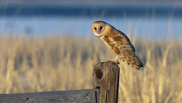 Photograph - Barn Owl Portrait by Rick Mosher