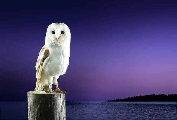 Barn Photograph - Barn Owl Standing On Log With Sunset by Michael Blann